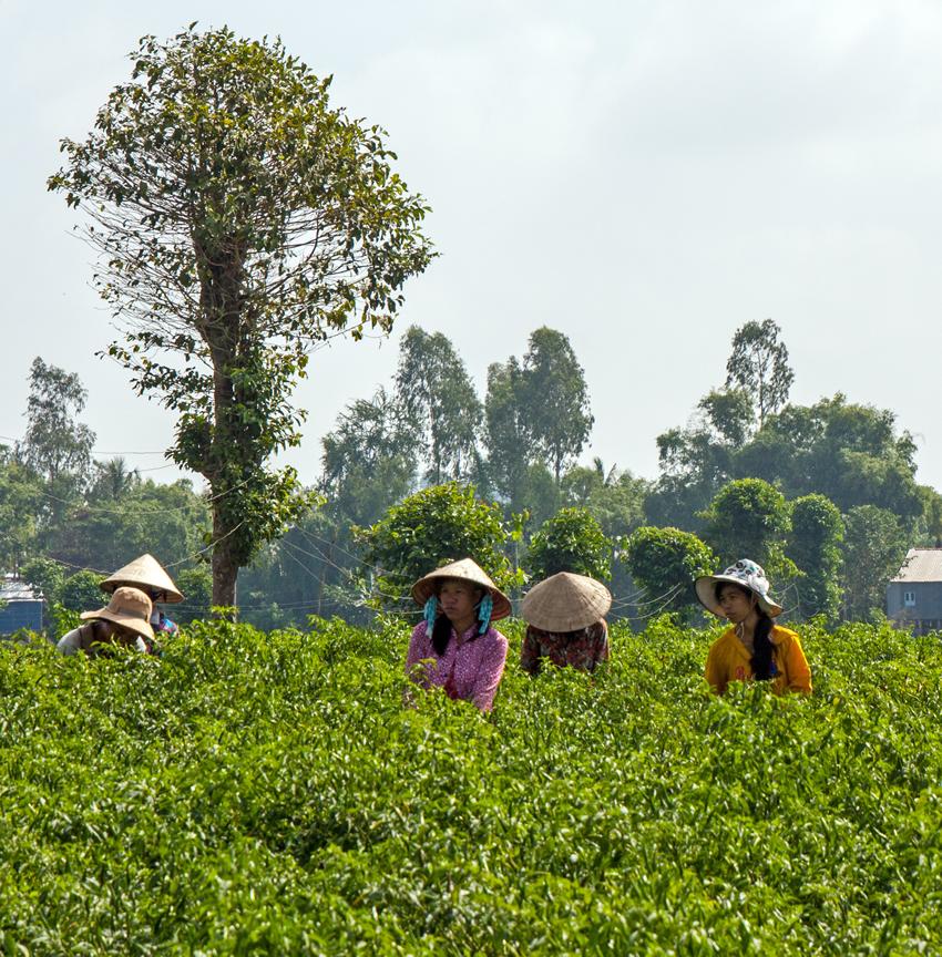 Locals Farming, Cambodia