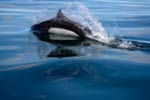 Dall's Porpoise surfacing in Auke Bay, Juneau, Alaska.