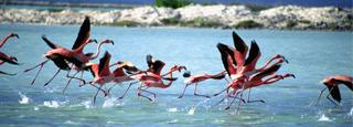 Flamencos en Aruba